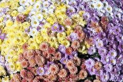 Enormer Blumenstrauß von den Chrysanthemen stockfoto