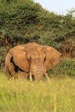 Enormer Chef Roter Elefant von Tarangire Stockfoto