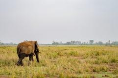 Enormer Elefant auf der Spur in der Savanne von Amboseli Stockfoto