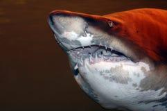 Enormer Haifisch Stockfotografie