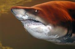 Enormer Haifisch Stockfoto