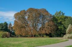 Enormer herbstlicher Baum, der seine Braunblätter verliert Stockbild