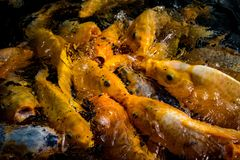Enormer hungriger Koi Fish Lizenzfreie Stockfotos