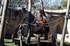 Enormer Orang-Utan in Audubon-Zoo stockfotos