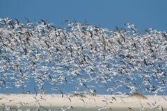 Enormer Schwarm von den Seeschwalben, die von der Lagune in der Sonne sich entfernen Lizenzfreie Stockbilder