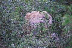 Enormer Stier Elefant Afrikas A, der durch Thorn Bush auflädt stockfotos