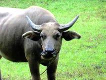 Enormer thailändischer Stier in Thailand Lizenzfreie Stockfotos
