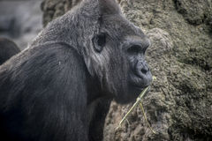 Enormer und starker Gorilla, natürliche Umwelt Stockbilder