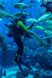 Enormes Aquarium in Dubai. Fütterungsfische des Tauchers. Stockbilder