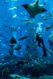 Enormes Aquarium in Dubai. Fütterungsfische des Tauchers. Lizenzfreies Stockfoto