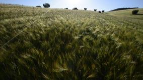Enormes Feld des Weizens bei Sonnenuntergang stock video footage
