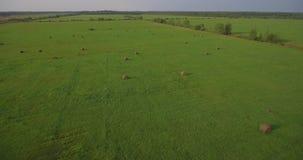 Enormes Feld mit Heuballen, Antenne oben steigen stock video