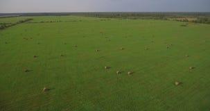 Enormes Feld mit Heuballen, Luftdescenting stock video