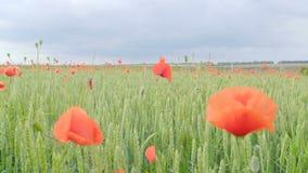 Enormes Feld von blühenden Mohnblumen Rote Blumen, grünes Gras Feld von blühenden Mohnblumen stock footage
