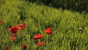 Enormes Feld von blühenden Mohnblumen Rote Blumen, grünes Gras Feld von blühenden Mohnblumen Blühende Mohnblumen schließen Sie ob stock video