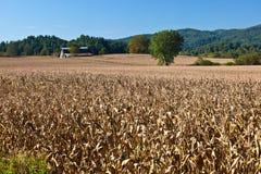 Enormes Feld von getrockneten Maisstielen Stockbild