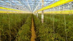 Enormes Glashaus voll von Tomaten, Bearbeitung stock footage