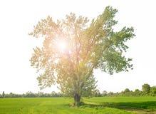Enormes Grün lokalisierter Baum mit reflektiertem Licht Lizenzfreies Stockfoto