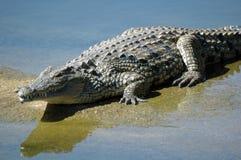 Enormes Krokodil stockfoto
