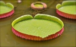 Enormes Lilienblatt, das in einen ruhigen Teich schwimmt stock abbildung