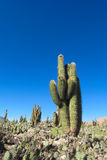 Enormous big cactus in Argentina Stock Photography