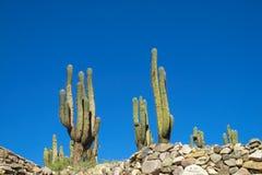 Enormous big cactus los Cardones in Tilcara Royalty Free Stock Images