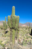Enormous big cactus in the mountains Royalty Free Stock Photos