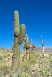 Enormous big cactus on Pucara de Tilcara Royalty Free Stock Photography