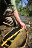 Enormous brown trout caught in the net Stock Photo