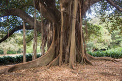 Fig Roots. Enormous fig tree with aerial roots during springtime at the Royal Botanic Gardens in Sydney, Australia Royalty Free Stock Photo