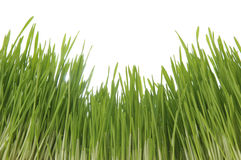 Enormous green grass Royalty Free Stock Image
