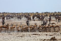 Enormous number of animals at the waterhole in the Etosha Stock Image