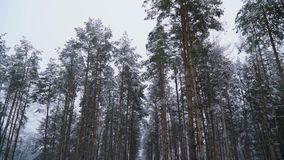 Enormous pine trees under heavy snow stock video