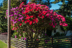 Enormous Rhododendrons of Burien 4. The state flower of Washington grows big in Burien, Washington stock photography