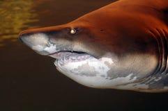 Enormous Shark royalty free stock photos
