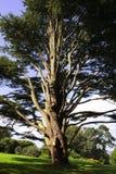 Enormous tree Royalty Free Stock Photo