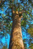 A giant kauri tree in Waipoua Forest, Northland, New Zealand stock image