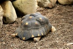 Large turtle making it`s way over to set of rocks and dish filled with water. Stock Image