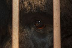 Enormt öga av djurfotoet till och med stängerna, begreppet av frihet av djur utan våld över dem arkivbild