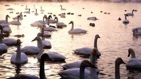 Enormt belopp av svanar i sjön stock video