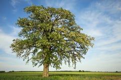Enormt blomningträd med horisontaltrevlig himmel Arkivfoto