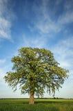 Enormt blomningträd med trevlig himmellodlinje Arkivbild