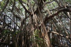 Enormt breda ut sigbanyanträd i Goa royaltyfri foto