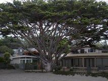 Enormt cypressträd framme av ett strandhus Arkivbild