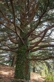 Enormt forntida träd i skogen Royaltyfri Bild