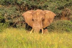 Enormt framstickande Röd elefant från Tarangire Arkivfoto