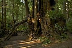 Enormt gammalt träd royaltyfri fotografi