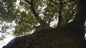 Enormt gammalt träd med en grön krona stock video