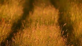 Enormt gräs, lång väg stock video
