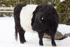 Enormt kutit Galloway nötkött med den karakteristiska vita markeringen royaltyfri fotografi
